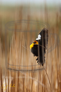 Yellow-Headed Blackbird in the marsh next to the McDonalds at the I-80 exit to Tooele, UT