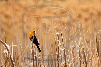 Yellow Headed Blackbird, kicking up a cattail seed cloud upon landing.