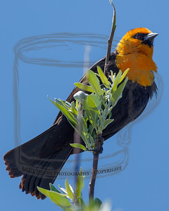 Yellow-headed Black Bird in a Russian Olive on the Garr Ranch, Antelope Island.