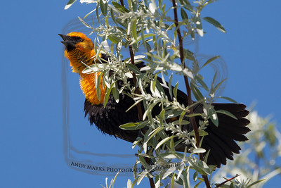 Yellow-headed Black Bird singing to the chicas, in a Russian Olive on the Garr Ranch, Antelope Island.