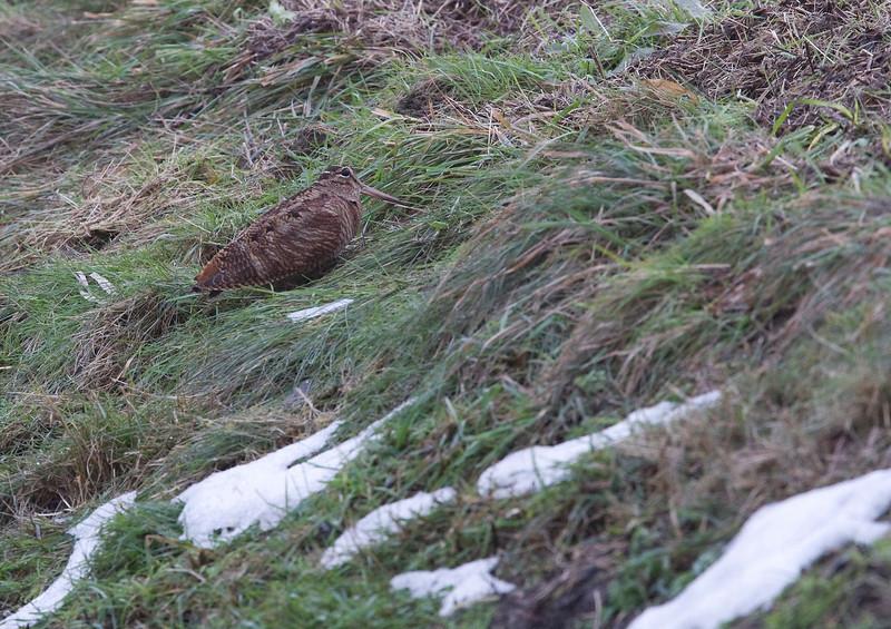 Woodcock (Scolopax rusticola) - Houtsnip