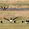 Barnacle Goose (Branta leucopsis) - brandgans - The area around the Flauwerse Inlagen in the Netherlands offer great wintering grounds for these beautiful geese.