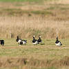 Barnacle geese (Branta leucopsis) - brandgans