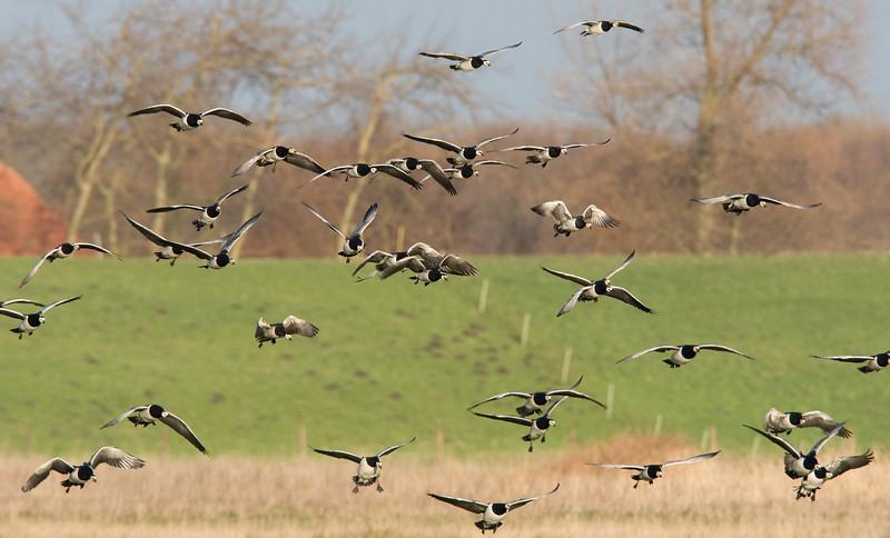 Barnacle geese (Branta leucopsis) - brandgans - near the Plompe Toren on Schouwen-Duiveland
