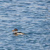 Red breasted merganser (Mergus serrator) - Middelste zaagbek - male with the catch of the day. The glittering on the right side of the picture is some broken ice
