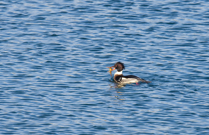 Red breasted merganser (Mergus serrator) - Middelste zaagbek - male