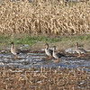 Bean Goose (Anser fabalis) - taigarietgans