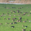 Group of Great White-fronted Goose (Anser albifrons) with some Bean Goose (Anser fabalis) - Kolganzen en Taigarietganzen