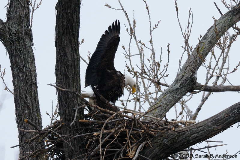 Male & Female Bald Eagles mating,<br /> Potomac River,<br /> Alexandria, Virginia<br /> February 2009