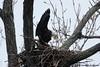 Male & Female Bald Eagles mating,<br /> Potomac River,<br /> Alexandria, Virginia<br /> February 2009