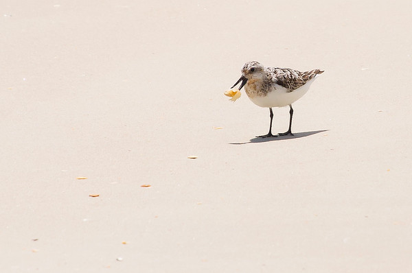 Sandpiper Flipping his Snack, (maybe a mole crab.)