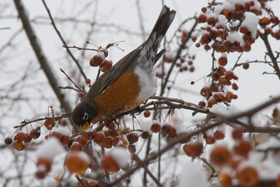 Robin and Snow, Cambridge, MA 600pix-9962