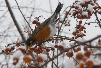 Robin and Snow, Cambridge, MA 600pix-9962