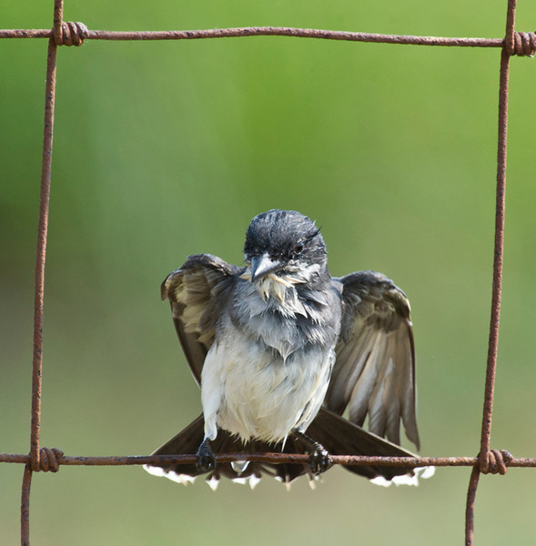 wet Eastern Kingbird