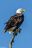 Bald Eagle at Sacramento Refuge #1