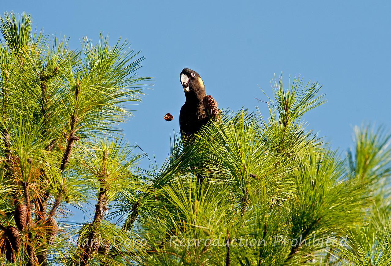Yellow-tailed Black Cockatoo feeding, Tea Gardens, NSW
