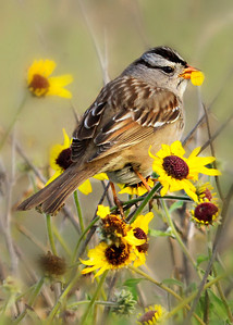 White-crowned Sparrow eating petals off Coast Sunflower (Encelia californica)