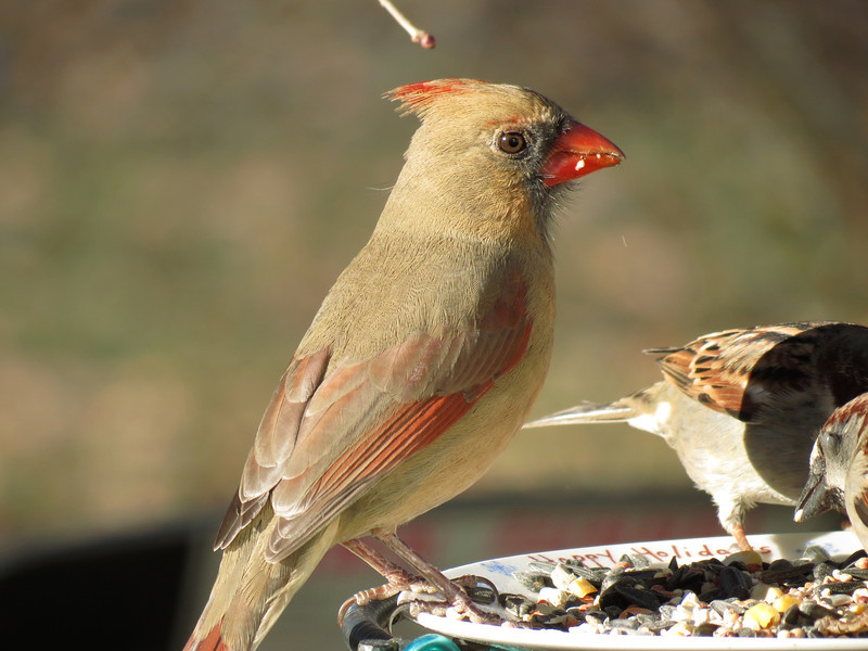Cardinal and Sparrows.