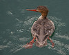 Red-breasted Merganser Mergus sarrator