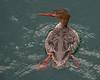 Red-breasted Merganser Mergus sarrator