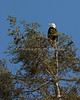 Male Bald Eagle perched on top of the tree - Milpitas - 10Apr2017