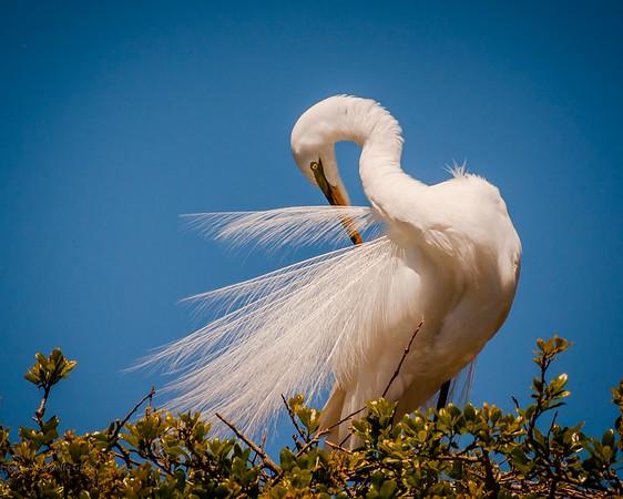 Beauty (Great Egret)