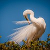 Beauty (Great Egret)