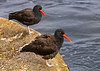 Black Oystercatchers Haematopus bachmani