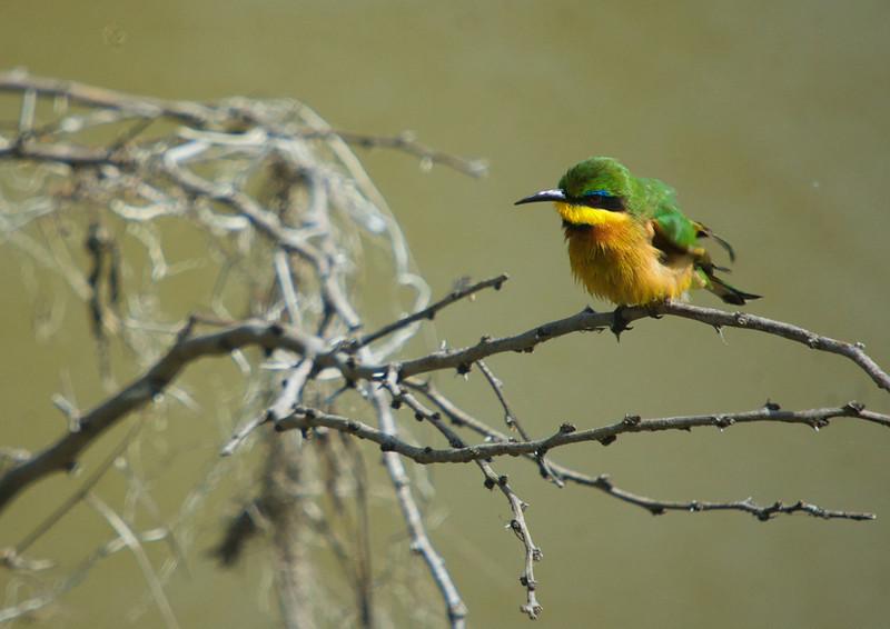 Blue-breasted Bee-eater (Merops variegatus)<br /> Masai Mara National Park, Kenya<br /> IUCN Status: Least Concern