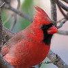 Red Bird with the setting Sun reflected in his eye.