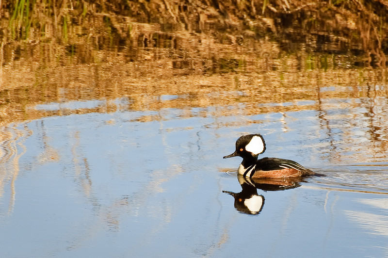 Hooded Merganser on the Nisqually Delta wetlands
