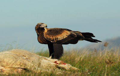 The magnificent Wedge-Tailed Eagle .. powerful enough to take a Joey!!