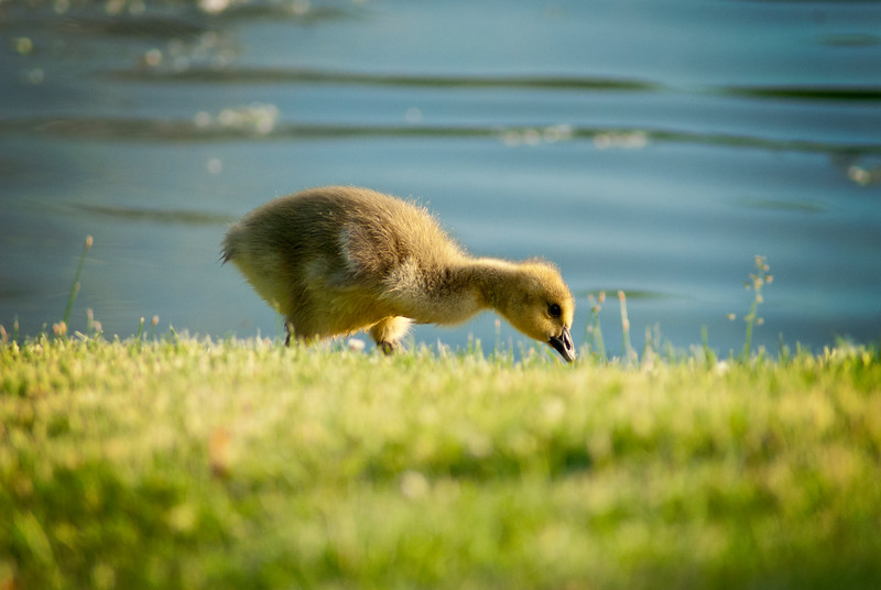 Baby gosling at Buckingham Pond