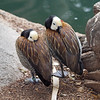 White-Faced Whistling Ducks at Wild Animal Park - 11 Apr 2010