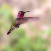 Anna's Hummingbird.  Bird photographed in Clarkdale, AZ 4/2/10