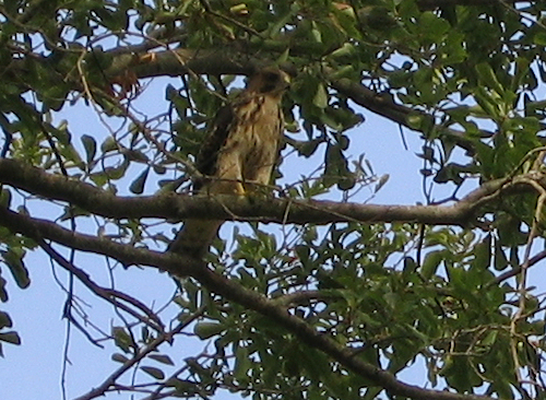 A juvenile Cooper's hawk (Accipiter cooperii) perched in a tree (211_1135)