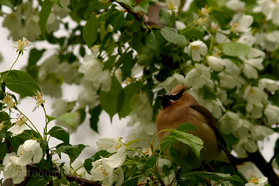 Waxwing Eating Apple Blossoms