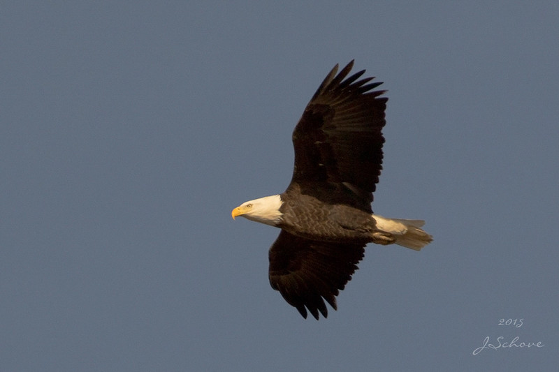 IMAGE: http://jschove.smugmug.com/Nature/Birds/i-2P4cCjX/0/L/BaldEagle_7455_crop_small-L.jpg