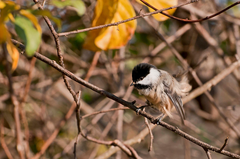 Chickadee, Beaver Marsh, 10/20/10.