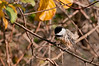 Chickadee, Beaver Marsh, 10/20/10.