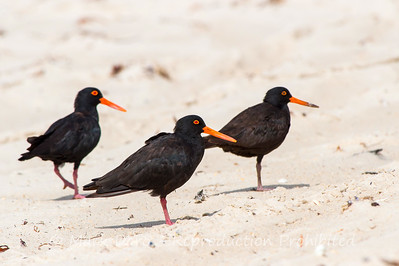 Sooty Oystercatchers, Hawks Nest, New South Wales