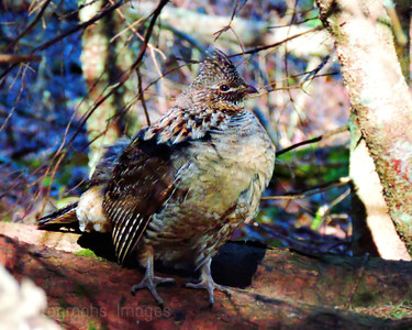 Partridge In The Woods, Spring 2018