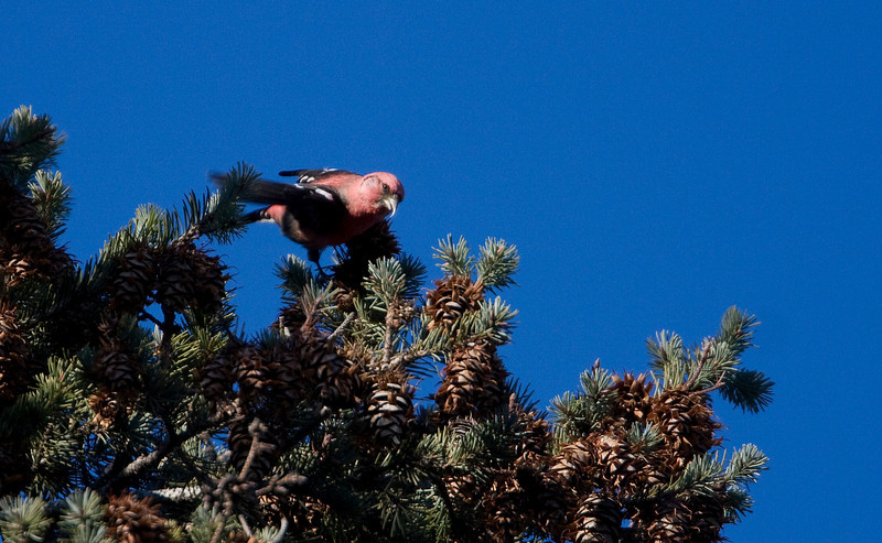 White-winged Crossbill - Monclova, OH - Great Bird to see in Ohio! Spends the Summer in Canada and when seed crops are low during the Winter they migrate south in search of food - January 2009