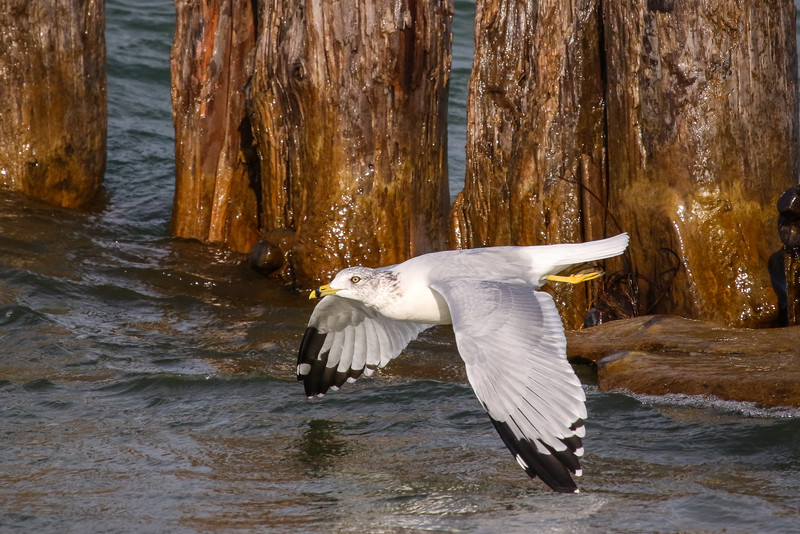 Gull in Flight 3