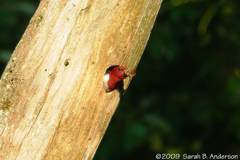 Fruit goes in, stuff comes out<br /> Red-headed Woodpecker cleaning the nest<br /> <br /> Hughes Hollow, Montgomery County, Maryland<br /> July 2009