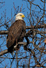Bald Eagle<br /> Potomac River<br /> Fairfax County, Virginia<br /> January 2009