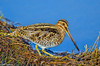 Common Snipe in Central Valley 1-2012 #14