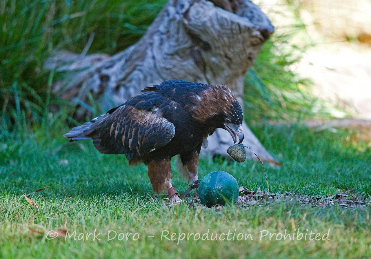 Black-breasted Buzzard (captive), breaking an emu egg with a rock, Healesville Sanctuary, Victoria