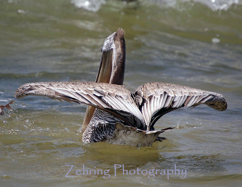 THis brown pelican prepares to take flight to avoid the oncoming wave.