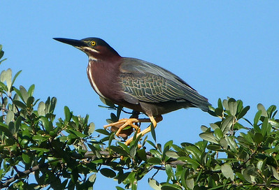 P136ButoridesVirescensGreenHeron459 May 31, 2014  9:03 a.m.  P1360459 This Butorides virescens, Green Heron, happened to fly up to a sunny spot in a tree top even with where I was checking the pond for ducks at ANSC for the day-early June biodiversity survey.